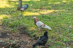 Красивая птица голубя идя на траву в квадрате Любознательные голуби стоя на траве в городе паркуют смешно Стоковые Изображения RF