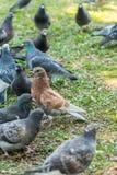 Красивая птица голубя идя на траву в квадрате Любознательные голуби стоя на траве в городе паркуют смешно Стоковое Изображение RF