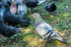 Красивая птица голубя идя на траву в квадрате Любознательные голуби стоя на траве в городе паркуют смешно Стоковое фото RF
