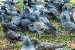 Красивая птица голубя идя на траву в квадрате Любознательные голуби стоя на траве в городе паркуют смешно Стоковые Фото