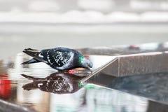 Красивая птица голубя сидя на крае и питьевой воде фонтана Отражают голубя в воде Стоковое Фото
