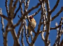 Красивая птица, европейский goldfinch Стоковая Фотография RF