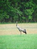 Красивая птица крана в луге, Литве Стоковое Изображение