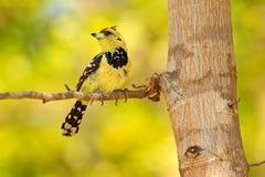 Красивая птица от Африки, желтого Barbet Желтая птица Crested Barbet, vaillantii Trachyphonus, национальный парк Chobe, Ботсвана  стоковая фотография rf