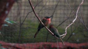 Красивая птица очень покрасила сидеть на веревочке сток-видео