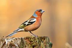 Красивая птица петь сидя на лесе пня весной Стоковые Изображения