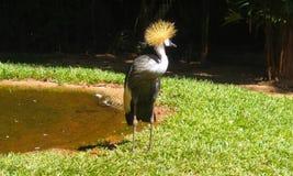 Красивая птица с желтым гребнем стоковое фото rf