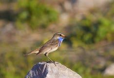 Красивая птица с яркими голубыми пер стоит на камне и s Стоковые Фото