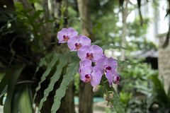 Красивая пурпурная орхидея Anggrek Bulan на парке стоковое изображение