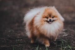 Красивая пушистая собака шпица Pomeranian стоковое изображение rf
