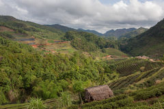 Красивая плантация зеленого чая в Ang Doi Стоковое Изображение
