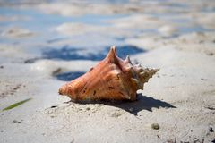 Красивая раковина на тропическом песчаном пляже стоковое фото
