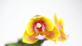 Красивая редкая орхидея в баке на белой предпосылке сток-видео