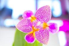 Красивая редкая орхидея в баке на белой предпосылке Стоковое Изображение RF
