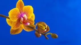 Красивая редкая орхидея в баке на голубой предпосылке акции видеоматериалы