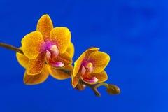 Красивая редкая орхидея в баке на голубой предпосылке Стоковые Фотографии RF