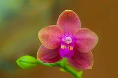 Красивая редкая орхидея в баке на запачканной предпосылке стоковая фотография rf