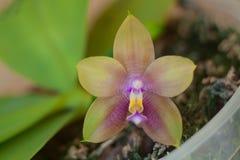 Красивая редкая орхидея в баке на запачканной предпосылке стоковое изображение