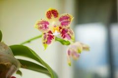 Красивая редкая орхидея в баке на запачканной предпосылке стоковые фотографии rf