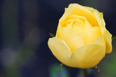 Красивая роза желтого цвета в саде Стоковое Фото