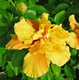 Красивая роза желтого цвета на предпосылке зеленых листьев стоковые фотографии rf