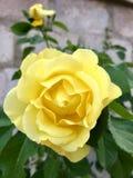 Красивая роза желтого цвета на предпосылке каменной стены стоковое изображение rf