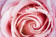 Красивая роза пинка в падениях макроса конца-вверх росы Стоковые Изображения