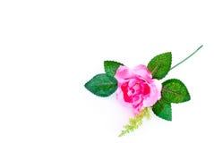 Красивая роза пинка изолированная на белой предпосылке Стоковая Фотография