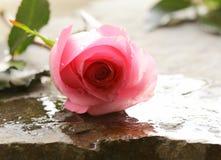 Красивая роза пинка с падениями воды Стоковое Изображение RF