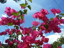 Красивая розовая бугинвилия стоковая фотография rf