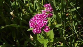 Красивая розовая гвоздика цветет цветене в саде лета сток-видео