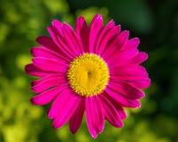 Красивая розовая маргаритка ромашника цветков на зеленой предпосылке Feverfew, покрашенная маргаритка Лекарственное растение r r стоковые фотографии rf
