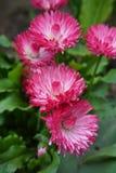 Красивая розовая маргаритка - perennis Bellis стоковое фото