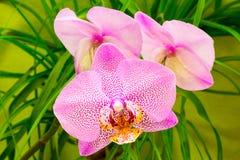 Красивая розовая орхидея стоковая фотография