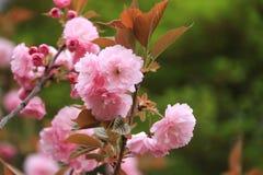 Красивая розовая Сакура цветет, вишневый цвет, в Японии стоковые изображения rf