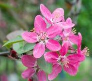 Красивая розовая Сакура цветет крупный план цветения Стоковые Фото