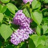 Красивая розовая, фиолетовая и фиолетовая сирень цветет в зеленых листьях Стоковые Фото