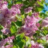 Красивая розовая, фиолетовая и фиолетовая сирень цветет в зеленых листьях Стоковое Изображение