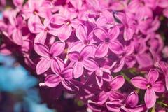Красивая розовая, фиолетовая и фиолетовая сирень цветет в зеленых листьях Стоковая Фотография