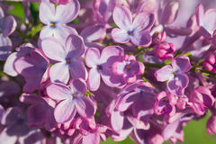Красивая розовая, фиолетовая и фиолетовая сирень цветет в зеленых листьях Стоковая Фотография RF