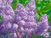 Красивая розовая, фиолетовая и фиолетовая сирень цветет в зеленых листьях Стоковые Изображения RF