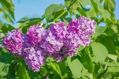 Красивая розовая, фиолетовая и фиолетовая сирень цветет в зеленых листьях Стоковое Изображение RF