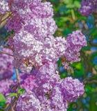 Красивая розовая, фиолетовая и фиолетовая сирень цветет в зеленых листьях Стоковые Изображения