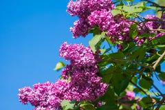 Красивая розовая, фиолетовая и фиолетовая сирень цветет крупный план цветения Стоковая Фотография