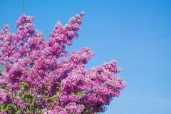 Красивая розовая, фиолетовая и фиолетовая сирень цветет крупный план цветения Стоковые Изображения RF