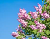 Красивая розовая, фиолетовая и фиолетовая сирень цветет крупный план цветения Стоковые Фото