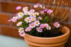 Красивая розовая хризантема в баке Стоковое Изображение