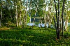 Красивая роща дерева березы Стоковые Изображения