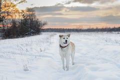 Красивая рыжеволосая собака породы inu akita японца в кожаном воротнике в снежном поле среди деревьев в зиме Стоковые Изображения RF