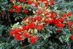 Красивая рябина Буш с зрелыми красными ягодами и зеленым цветом выходит в поздним летом или предыдущую осень стоковая фотография